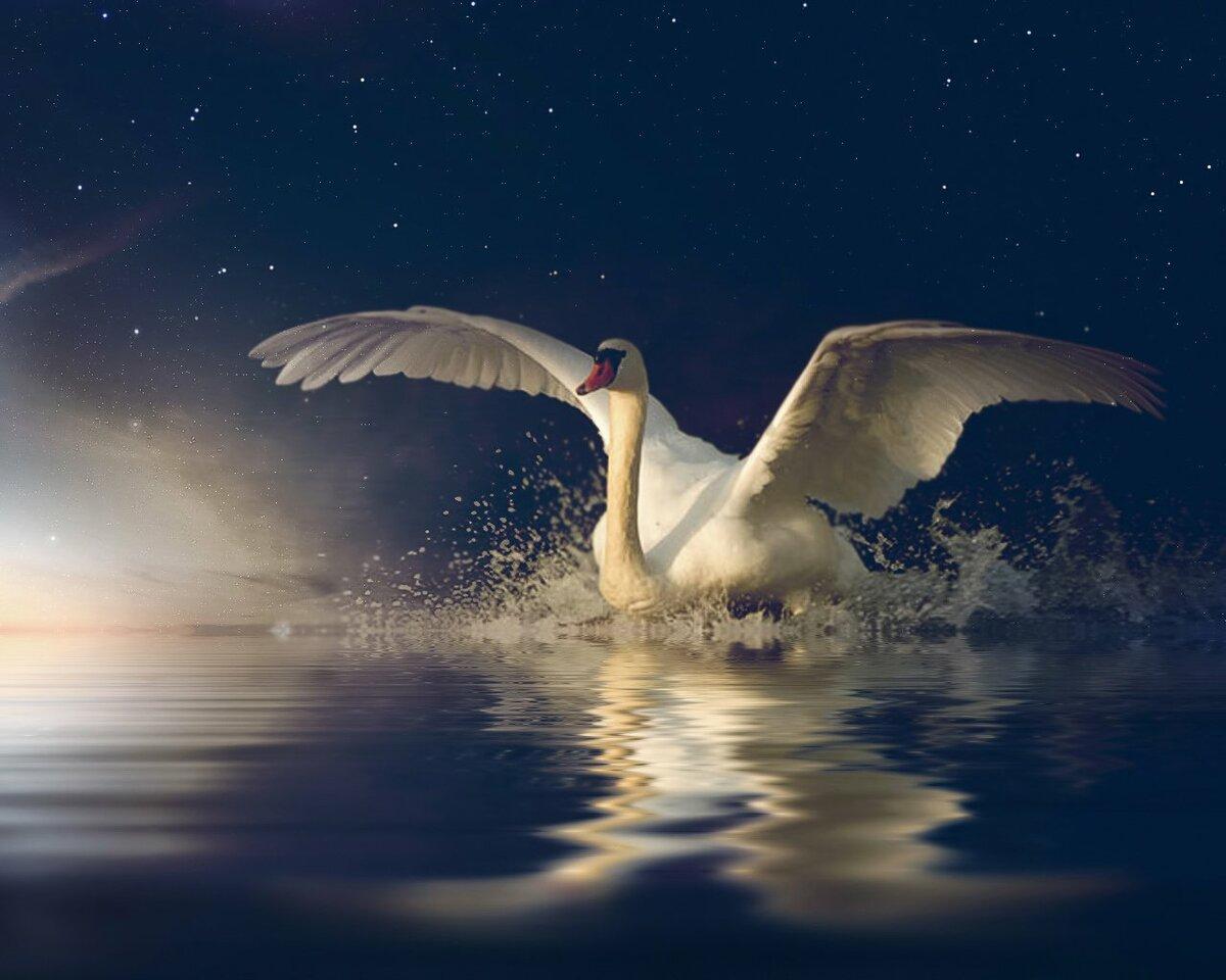 Картинка взлетающий лебедь