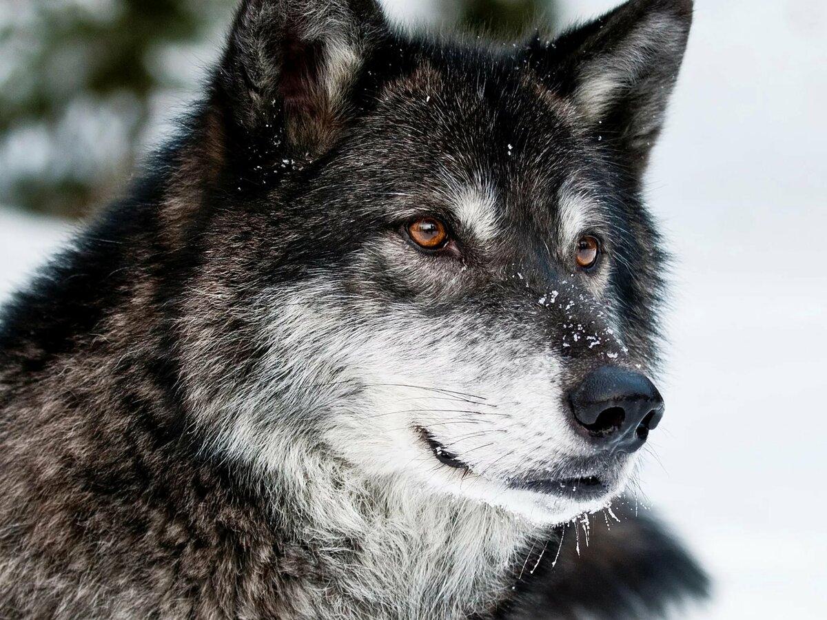 Красивые картинки волка одиночки