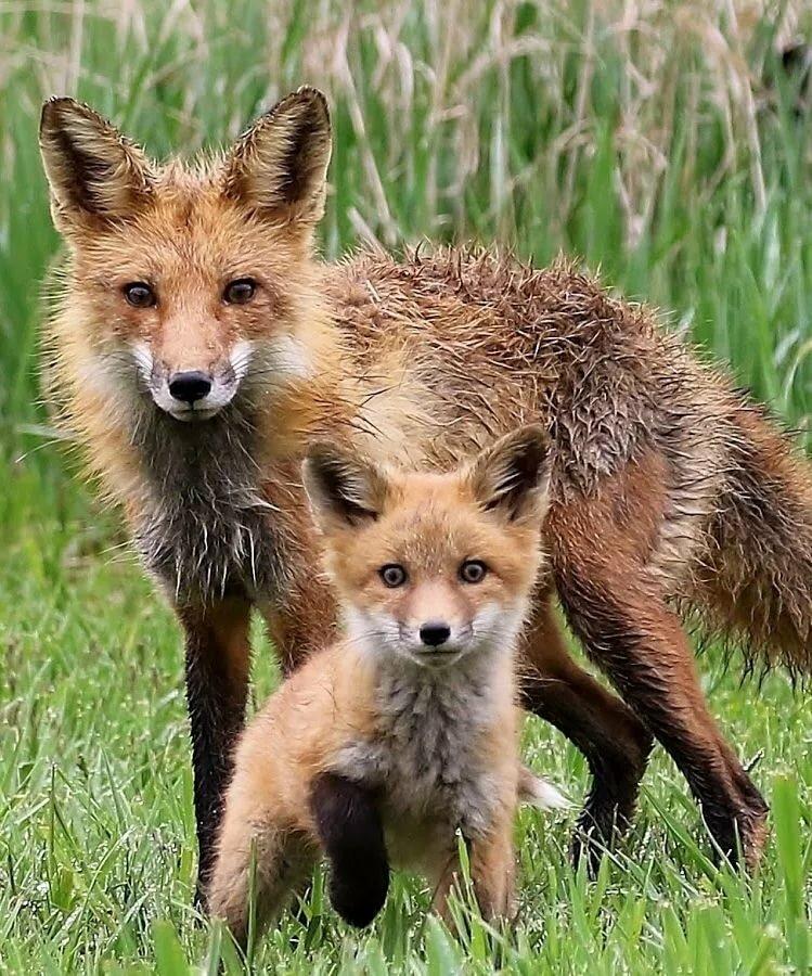 картинка или фото лиса с лисятами