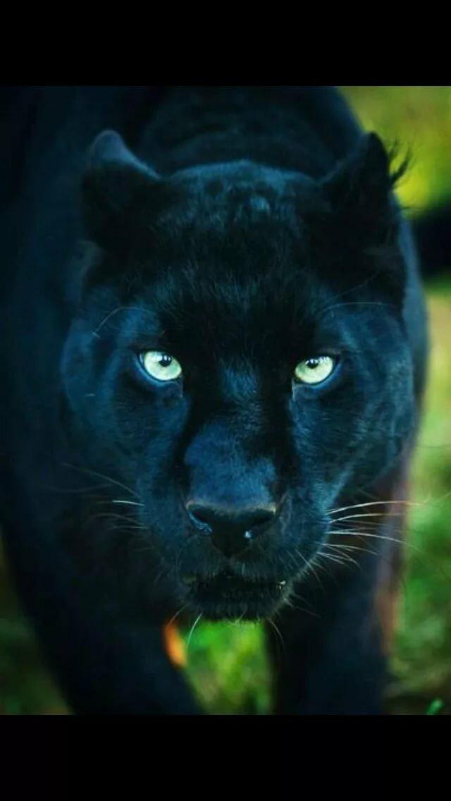забота картинка глаза пантеры с голубыми глазами его семья живут