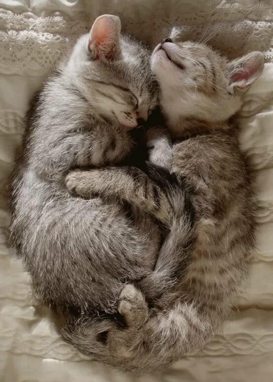 пусечки котята вдвоем обнимаются и засыпают картинки игрушки