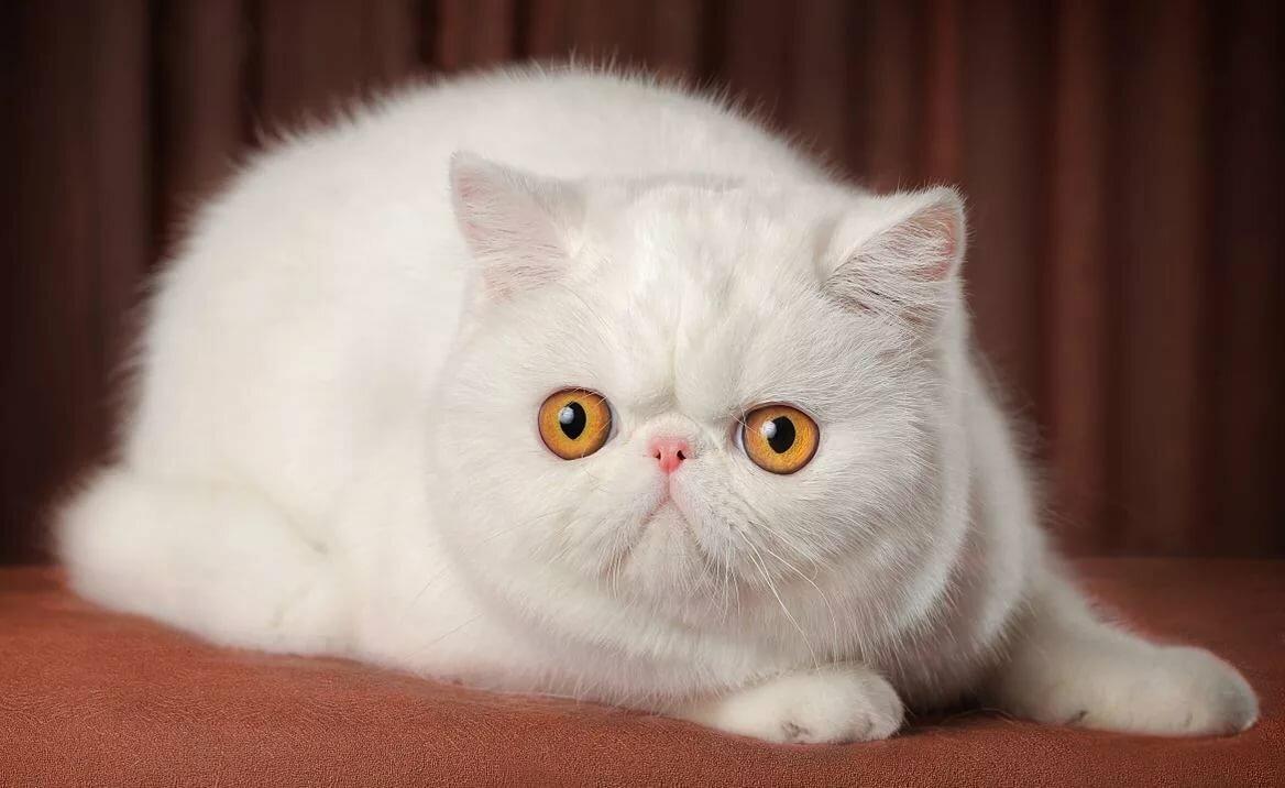 экзотическая короткошерстная кошка картинки добирались