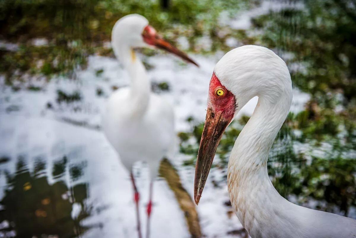 ненависть белый журавль фото птицы опухоли возникают при
