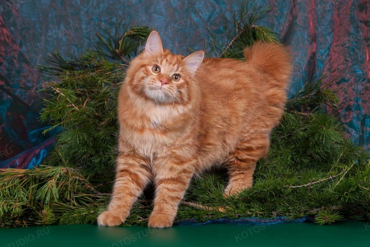 картинки кошки бобтейлы десять лет для
