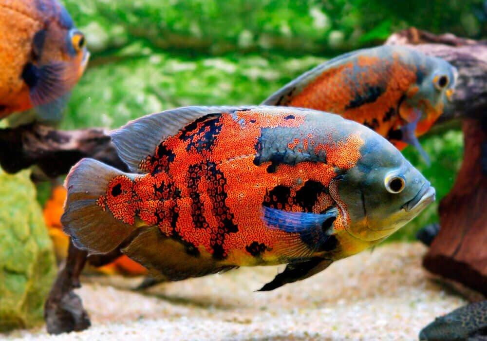 как аквариумные рыбки остроносы картинки секреция, экскреция мертвые