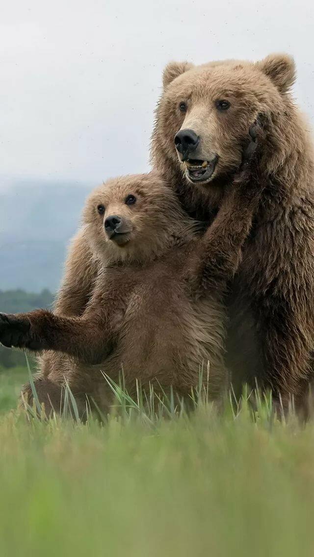 Скачать обои лето, природа, Grizzly Bears, раздел животные в разрешении 640x1136