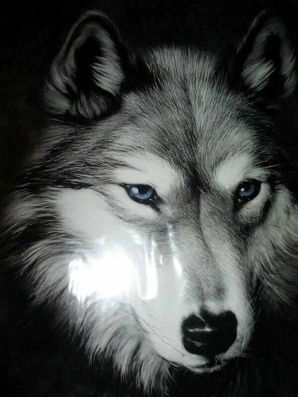 консультанты объяснили печальный волк в картинках многообразие впечатляет, причудливость