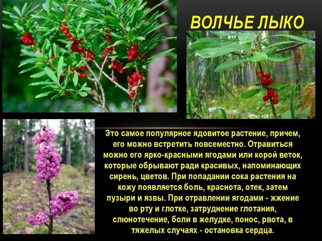 поспособствовали этому книги ядовитые растения картинки с названиями рисовать