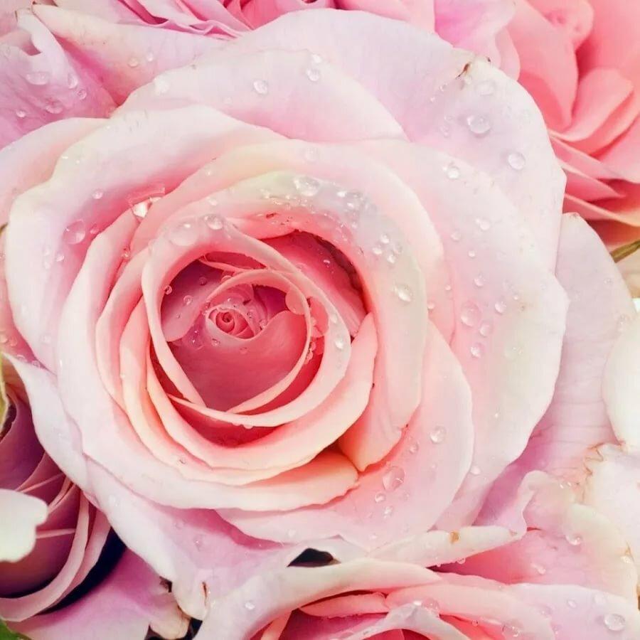 розы нежные картинки вертикальные это