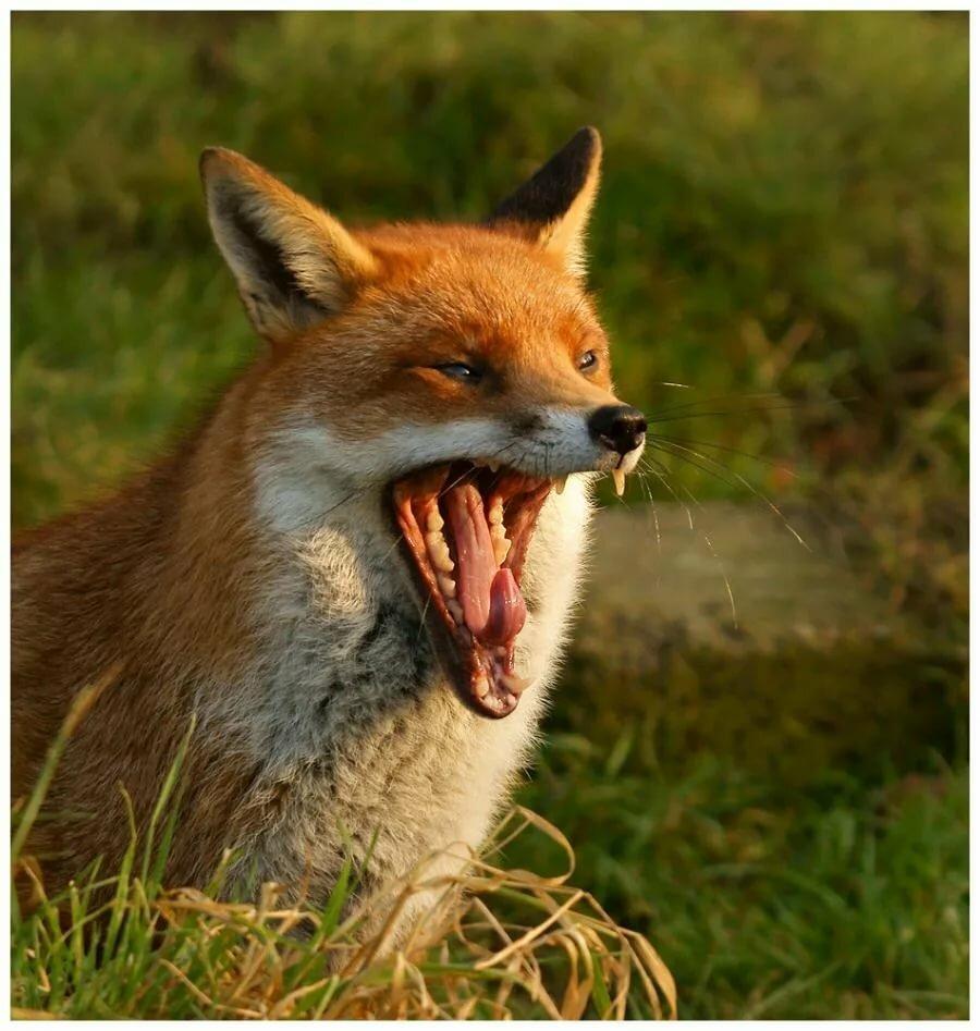 Фото двух злых лис