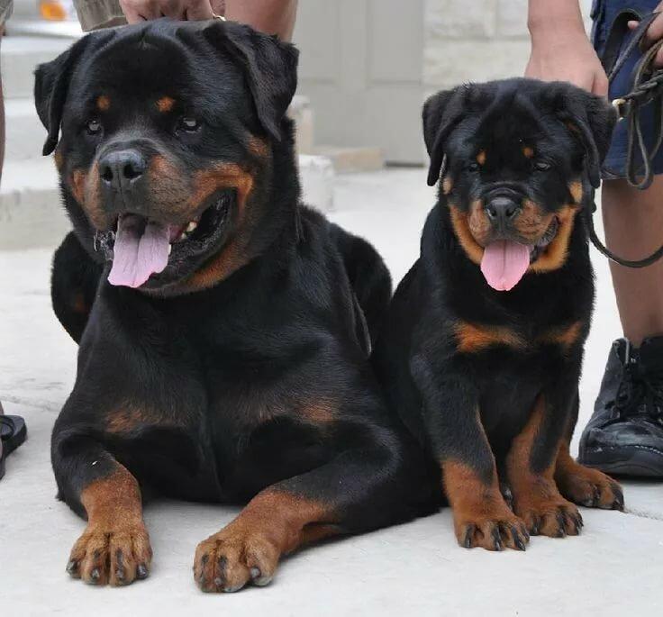 архарова фото собак ротвейлеров в бою забудьте