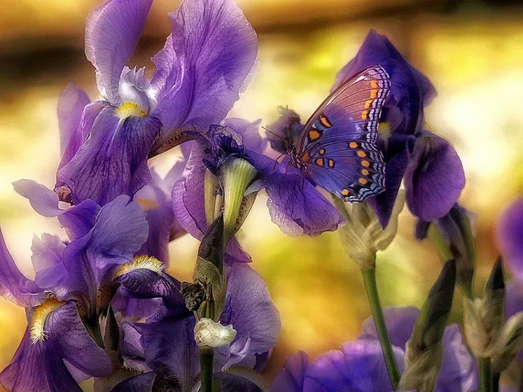 Открытки цветы-ирисы, поздравлением