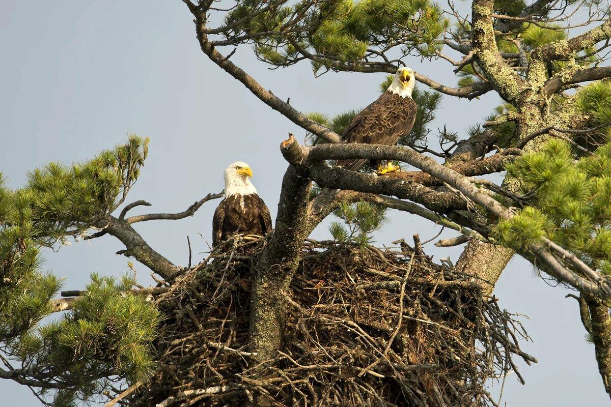 Картинки гнездо белоголового орлана