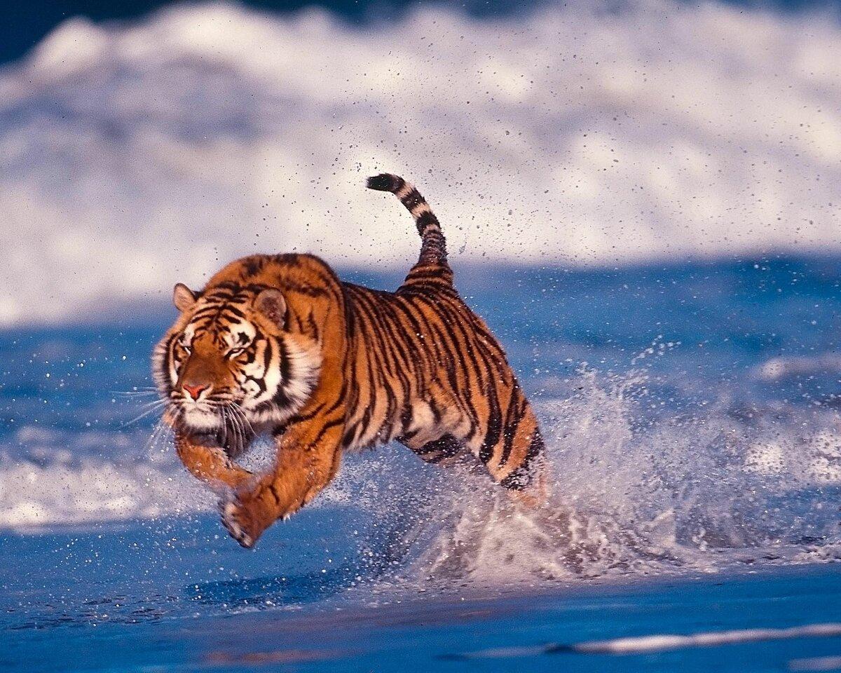 Сильный тигр фото