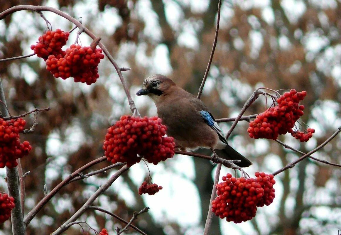 птички с рябиной картинки