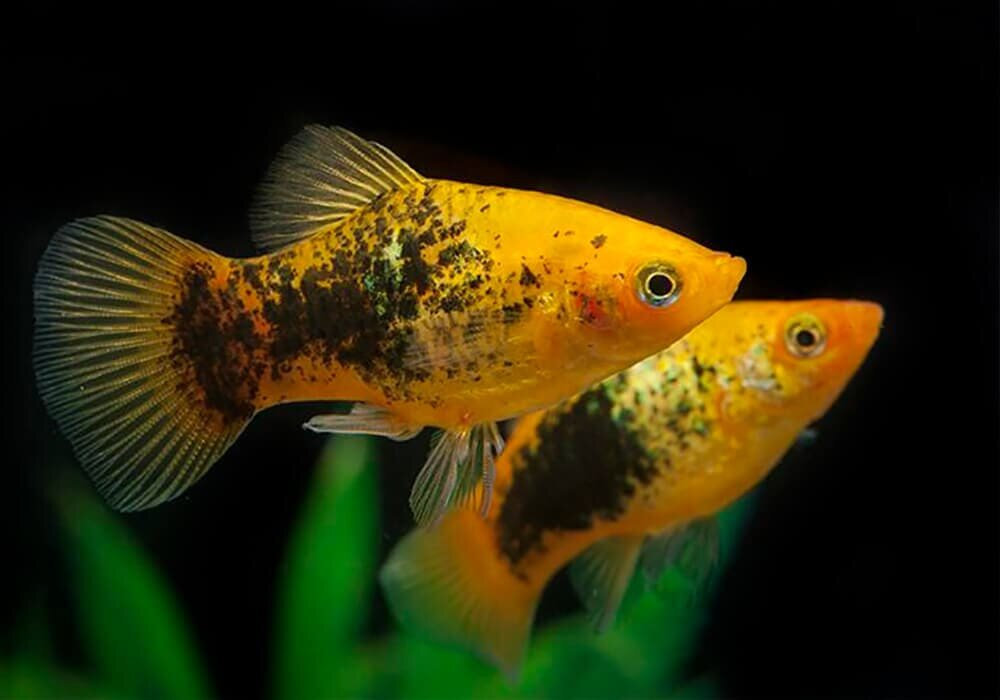 Фото аквариумных рыбок живородящих