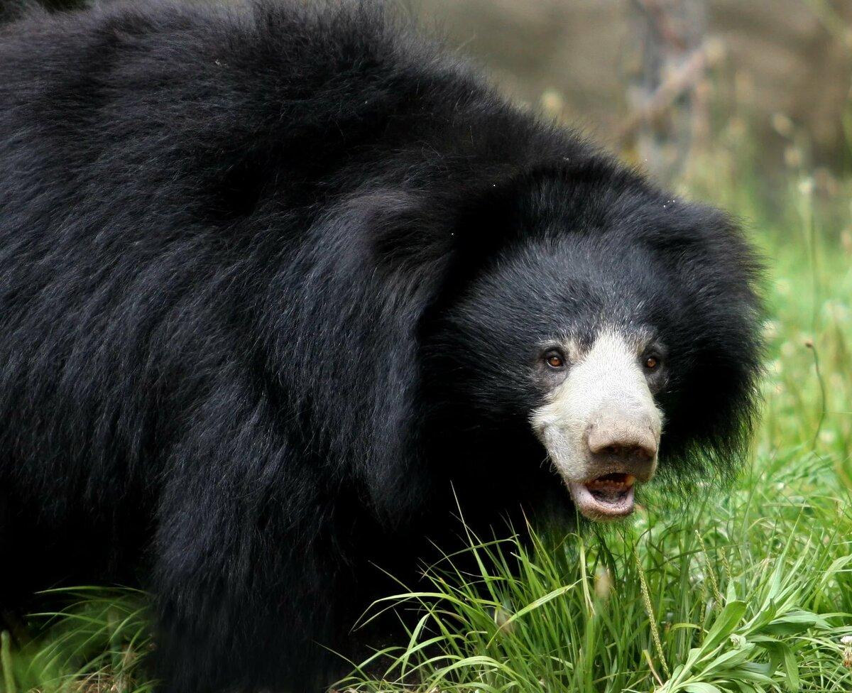 картинки разных медведей свиные