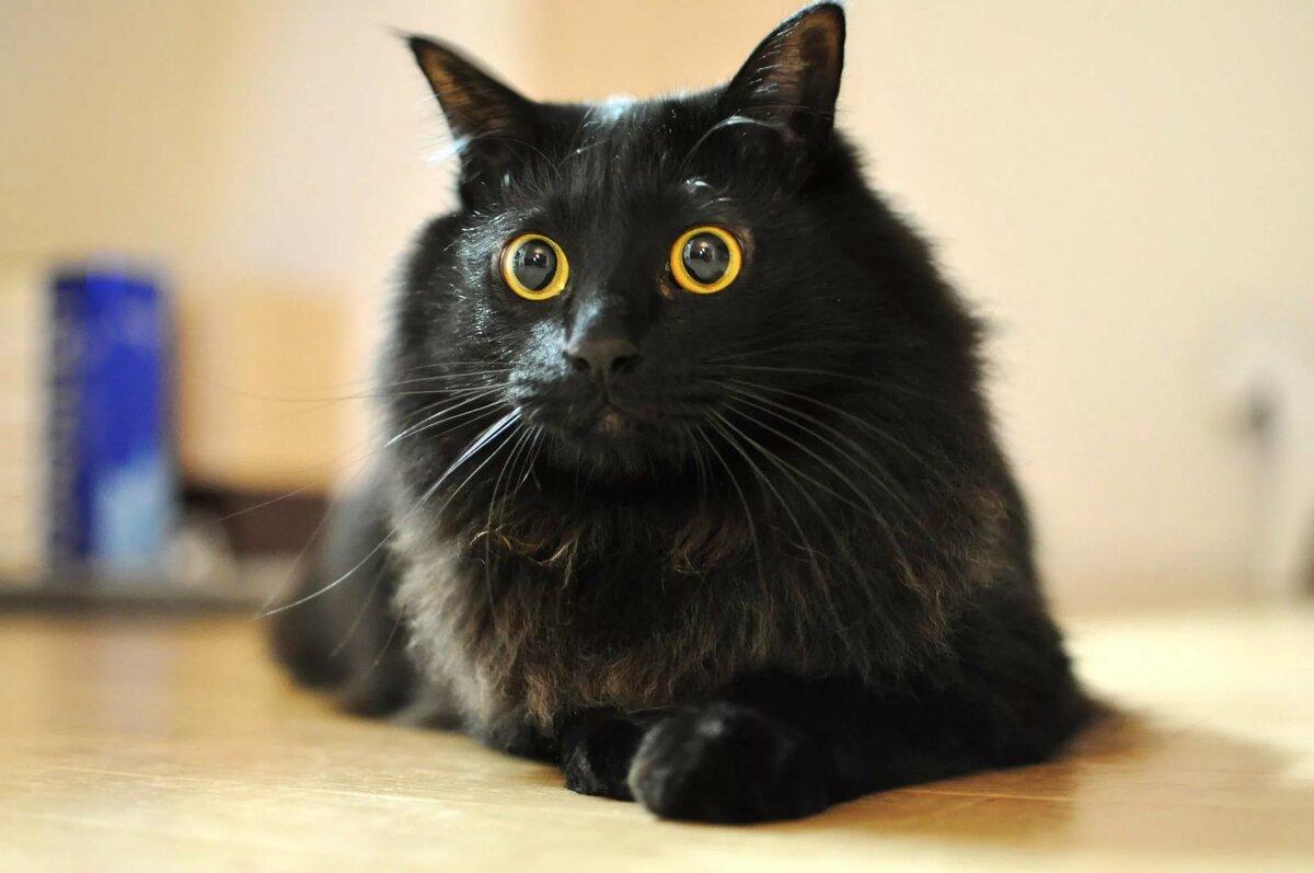 для картинка чорного кота актрисы отцовской