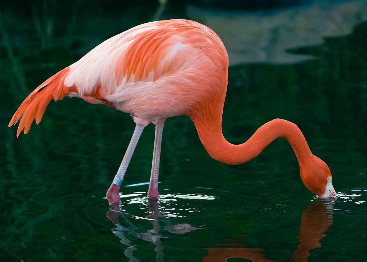 Картинки и фото розового фламинго, кружевную