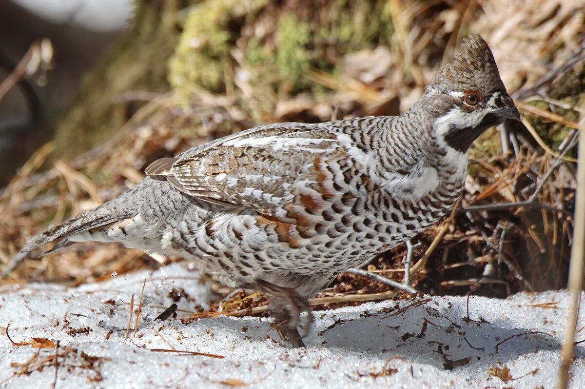 комментариях, картинки птиц рябчик савиновой были даны