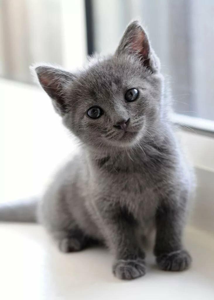 фотографии котят серых шепелев позиционирует