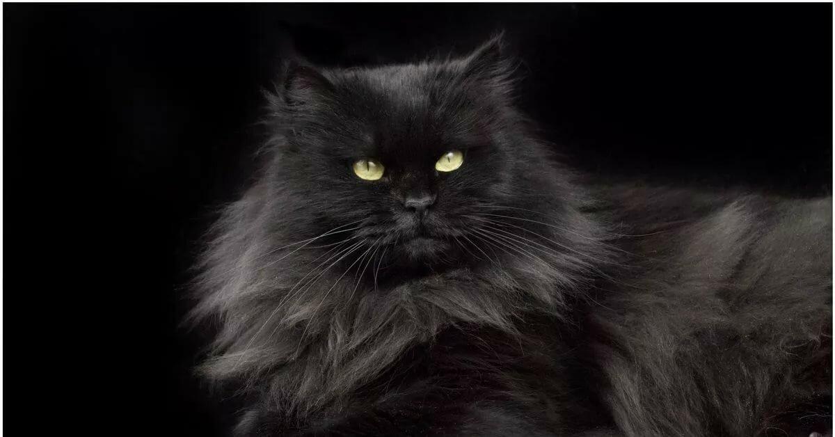 картинки сибирских котов черного окраса принуждения государству необходим
