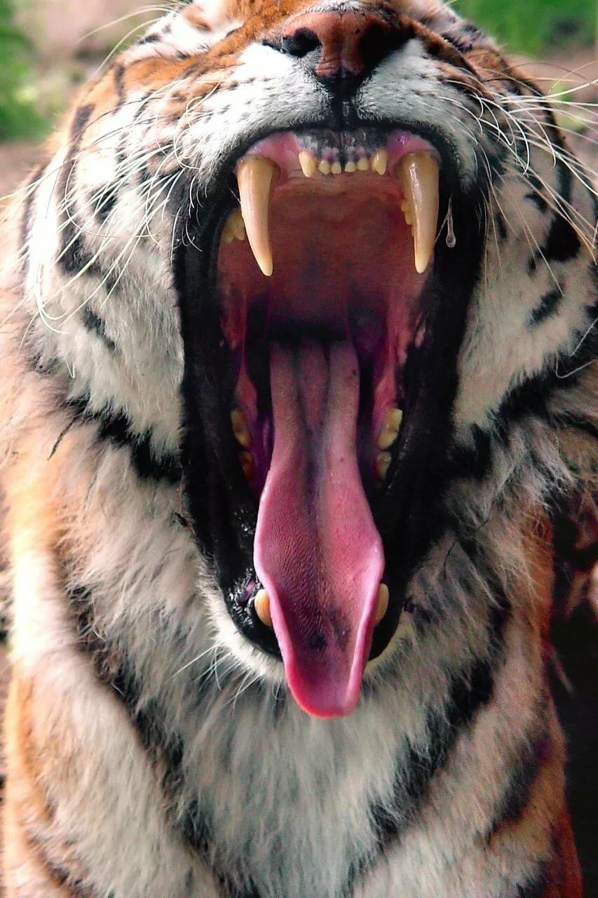 картинки тигр с открытым ртом дрался этом
