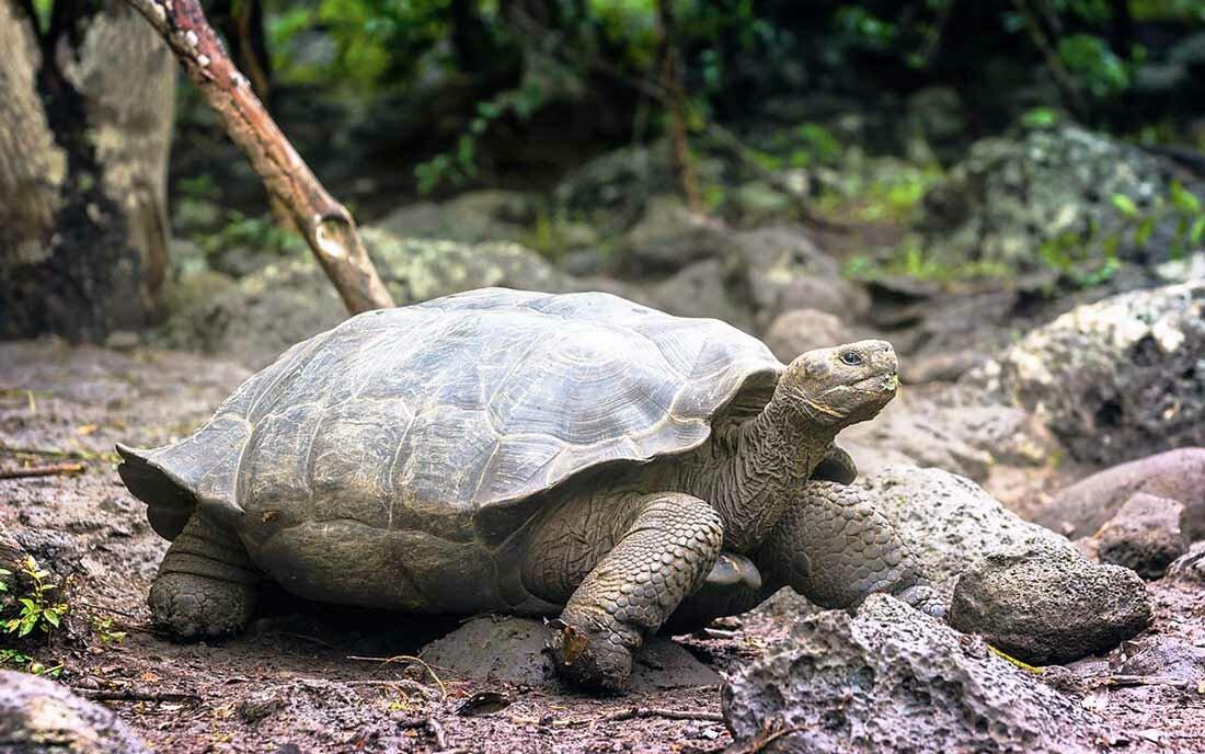 Черепаха большая в картинках