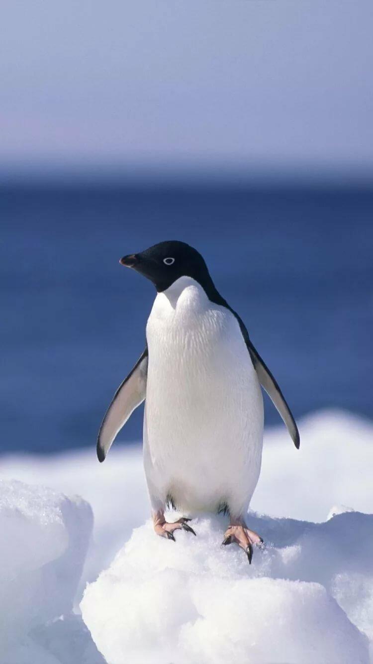 пингвин картинка на телефон смекает