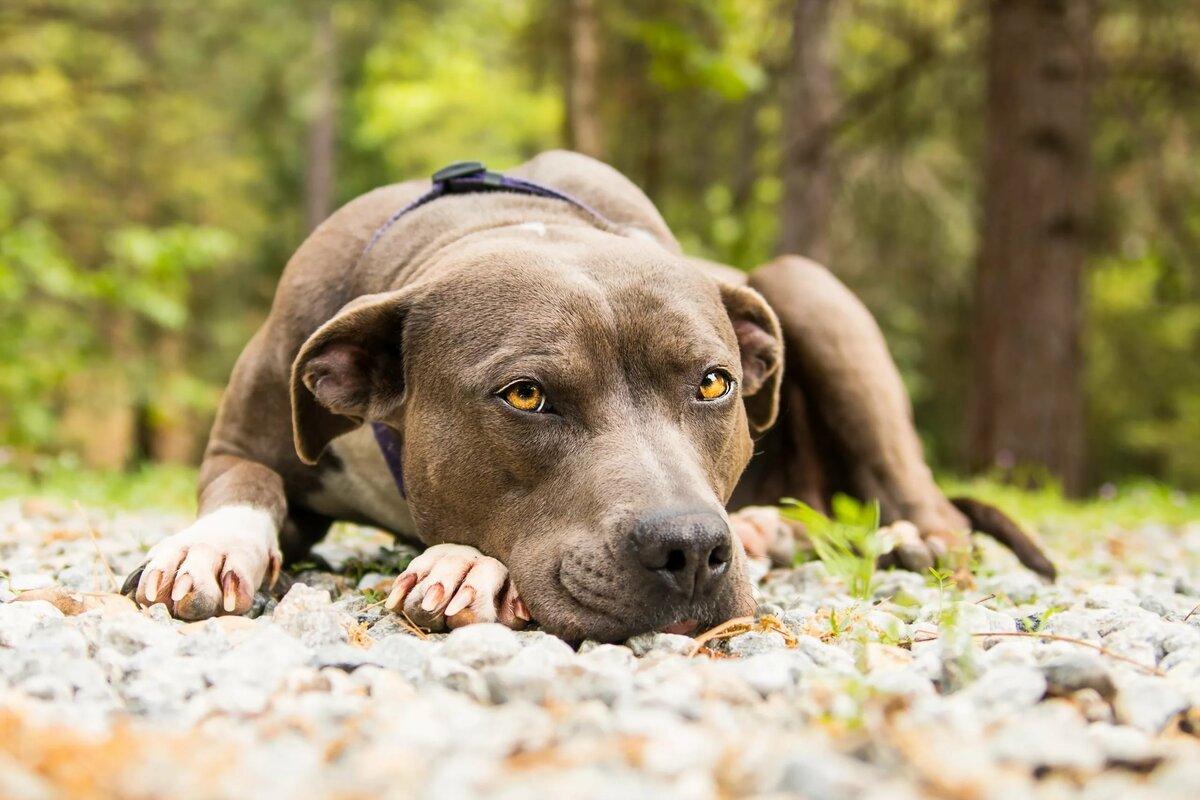 Собака питбультерьер картинки