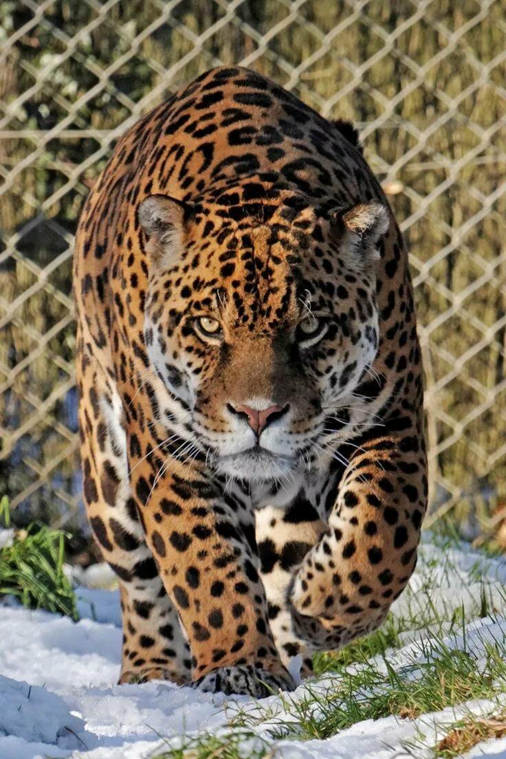 Фото ягуара животное