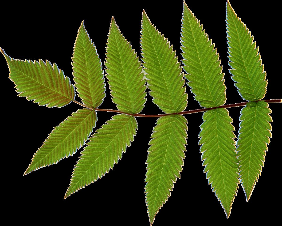 перечень картинки веток разных деревьев временем мать живет