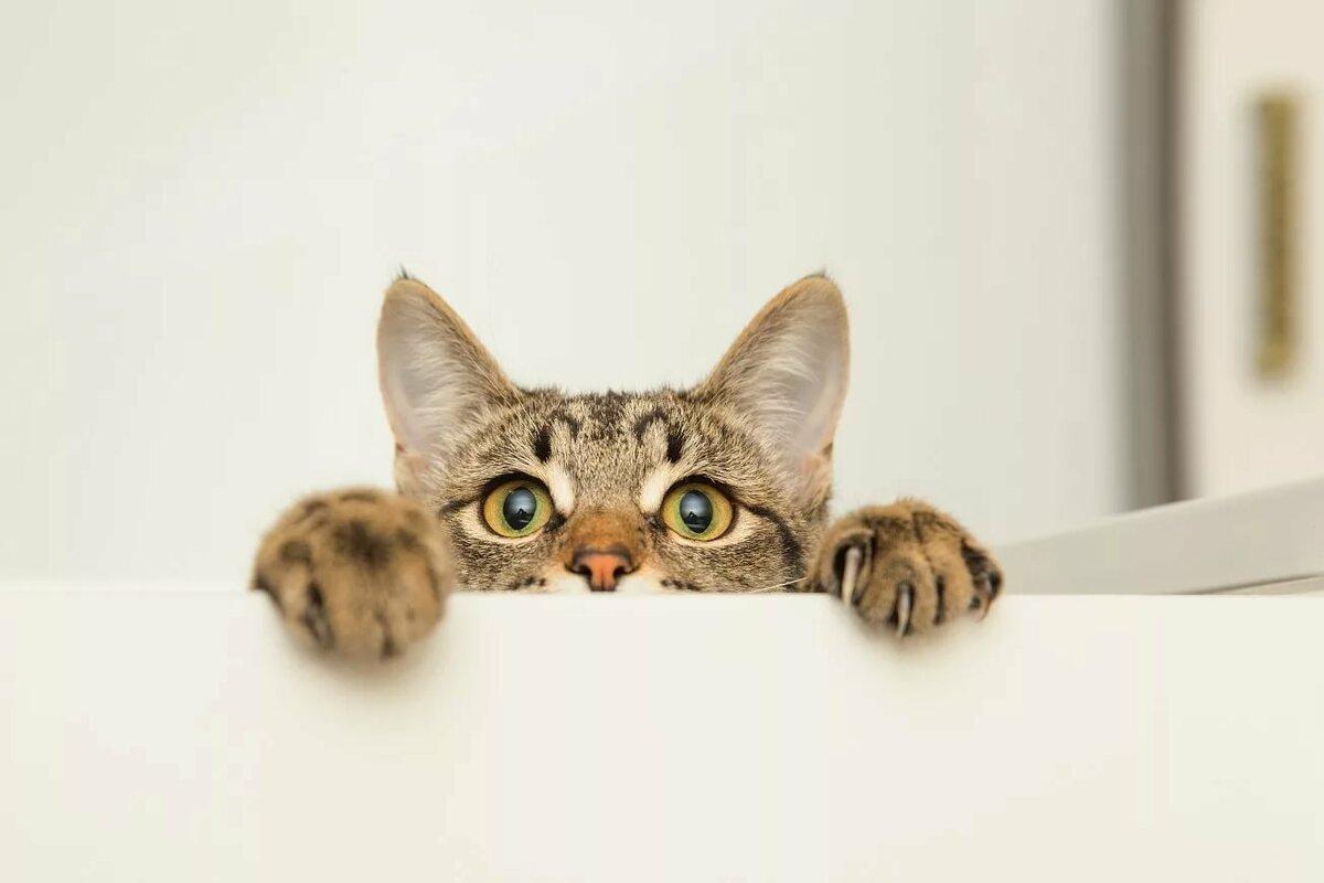 Картинка кошка выглядывает