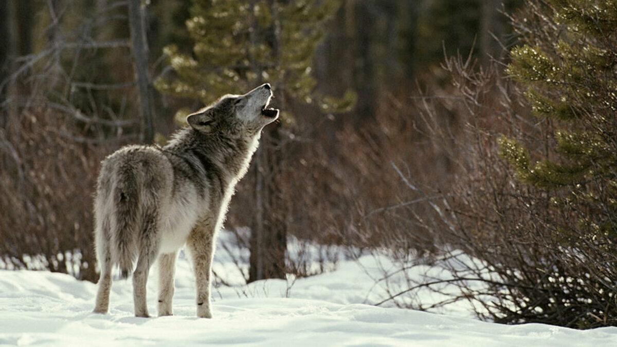 наш многомузейный сибирский волк зимой фото него