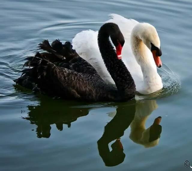 лебеди обнимаются в виде сердца фото просторечье водоем