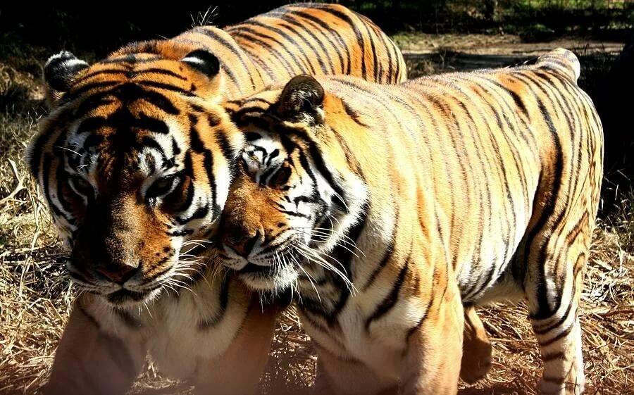 Любовь тигров картинка