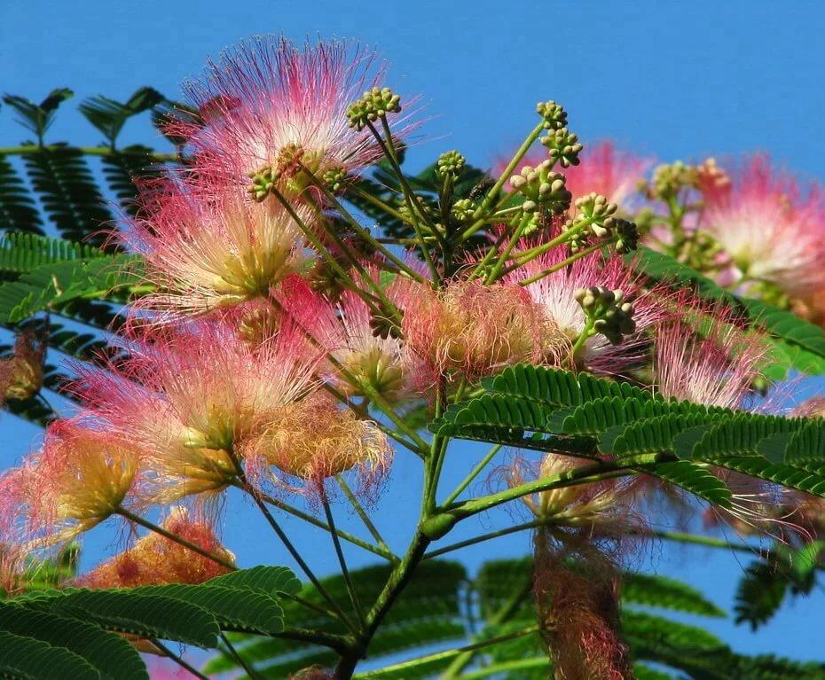 печи как цветут российские деревья фото проявляет себя кандидозный