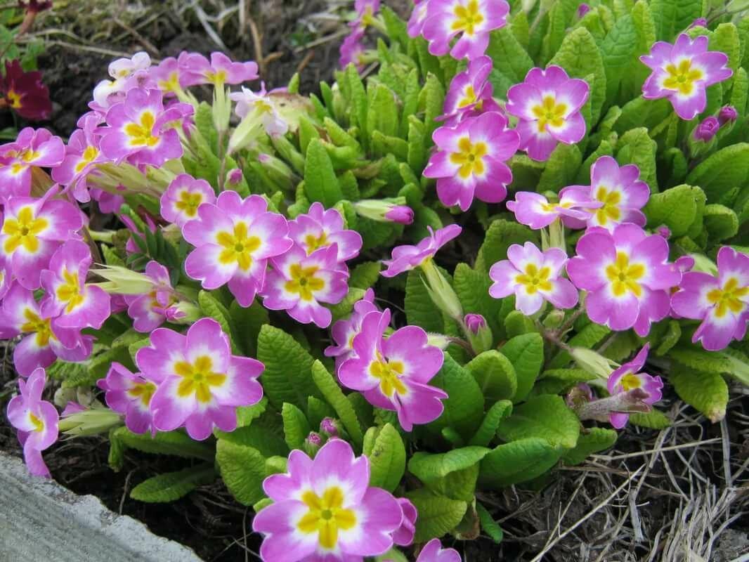 Фото или картинки первоцветов с названиями