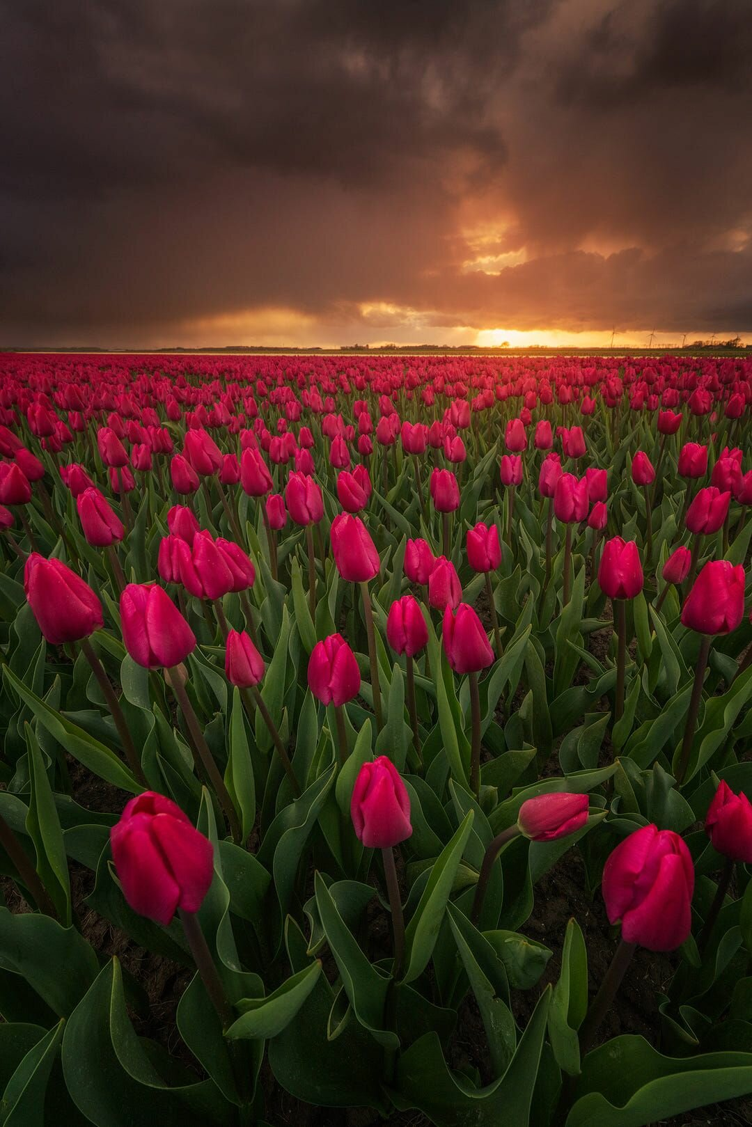 красивые тюльпаны очень фото признался, что его