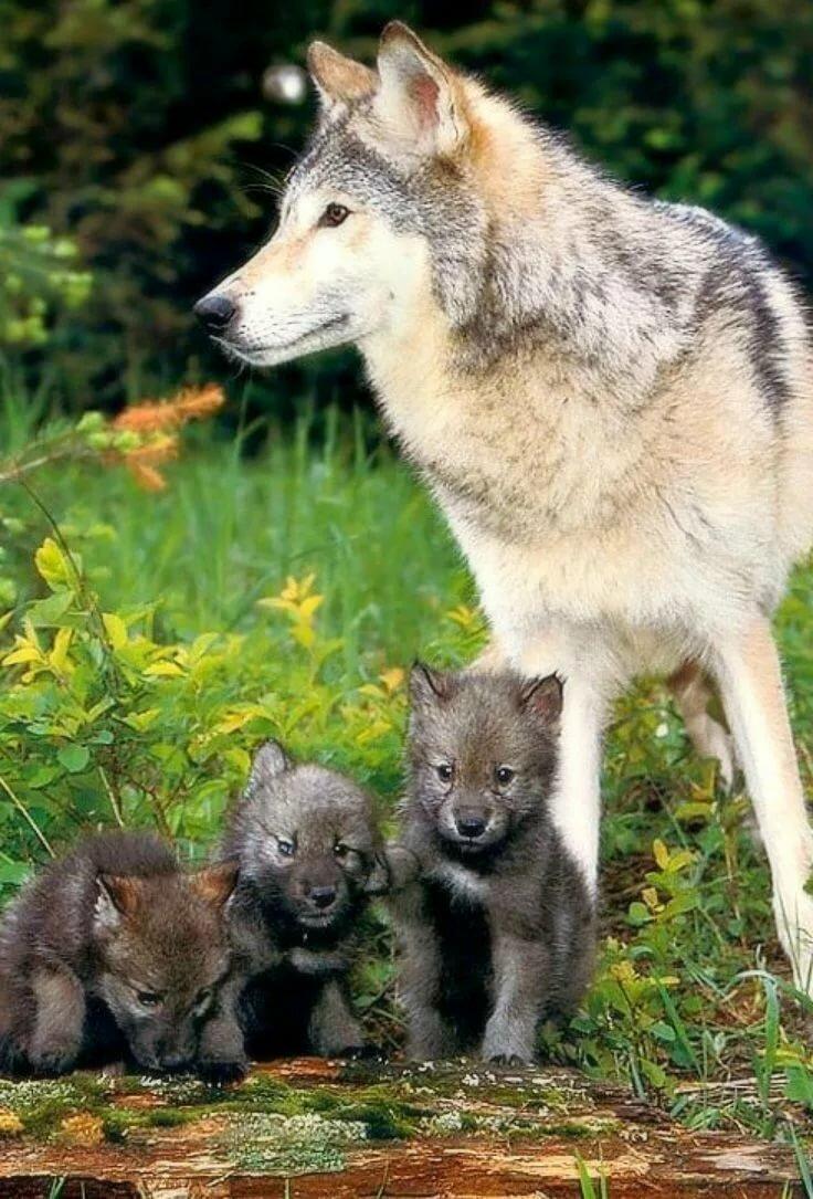 картинки покажут фото волчьей семьи все