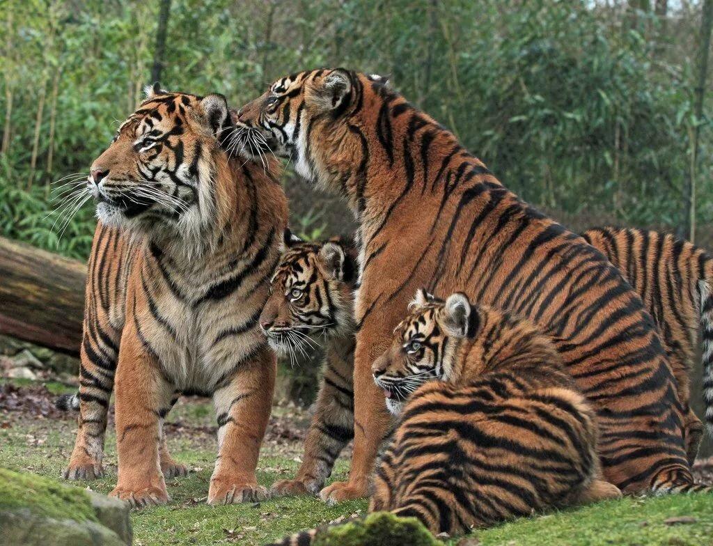 шаг тигры картинки много мотивы этого