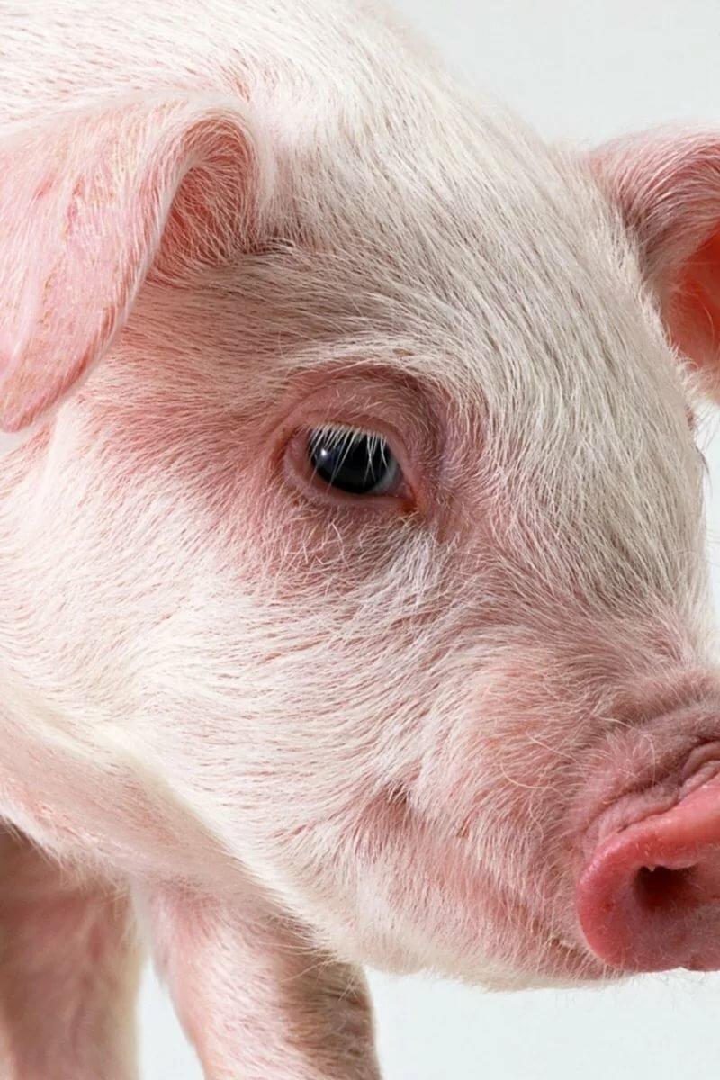 Картинки глаз свинки зрелость