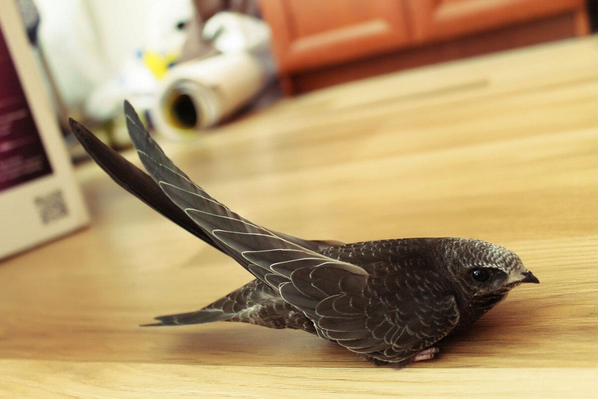 Картинка птенцы стрижей