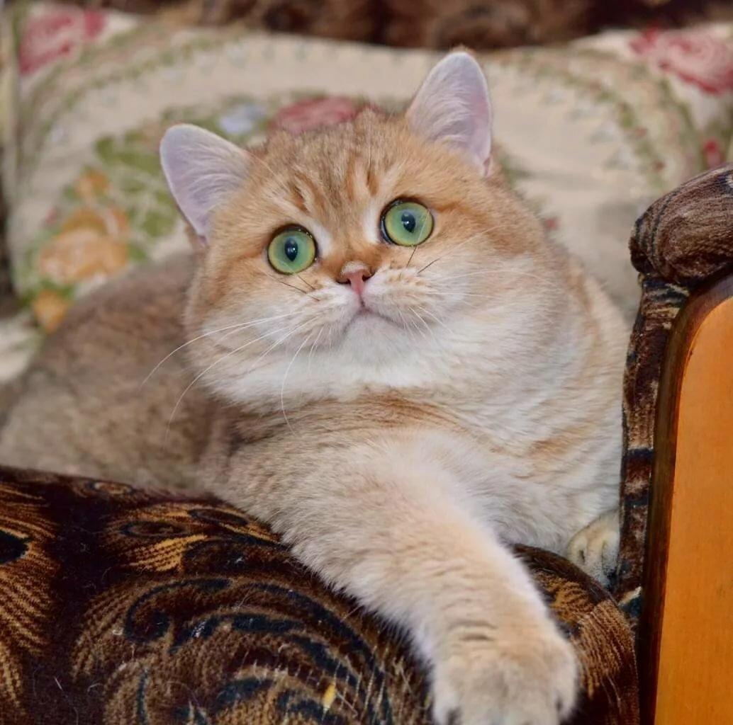 коты британская шиншилла часто возникает