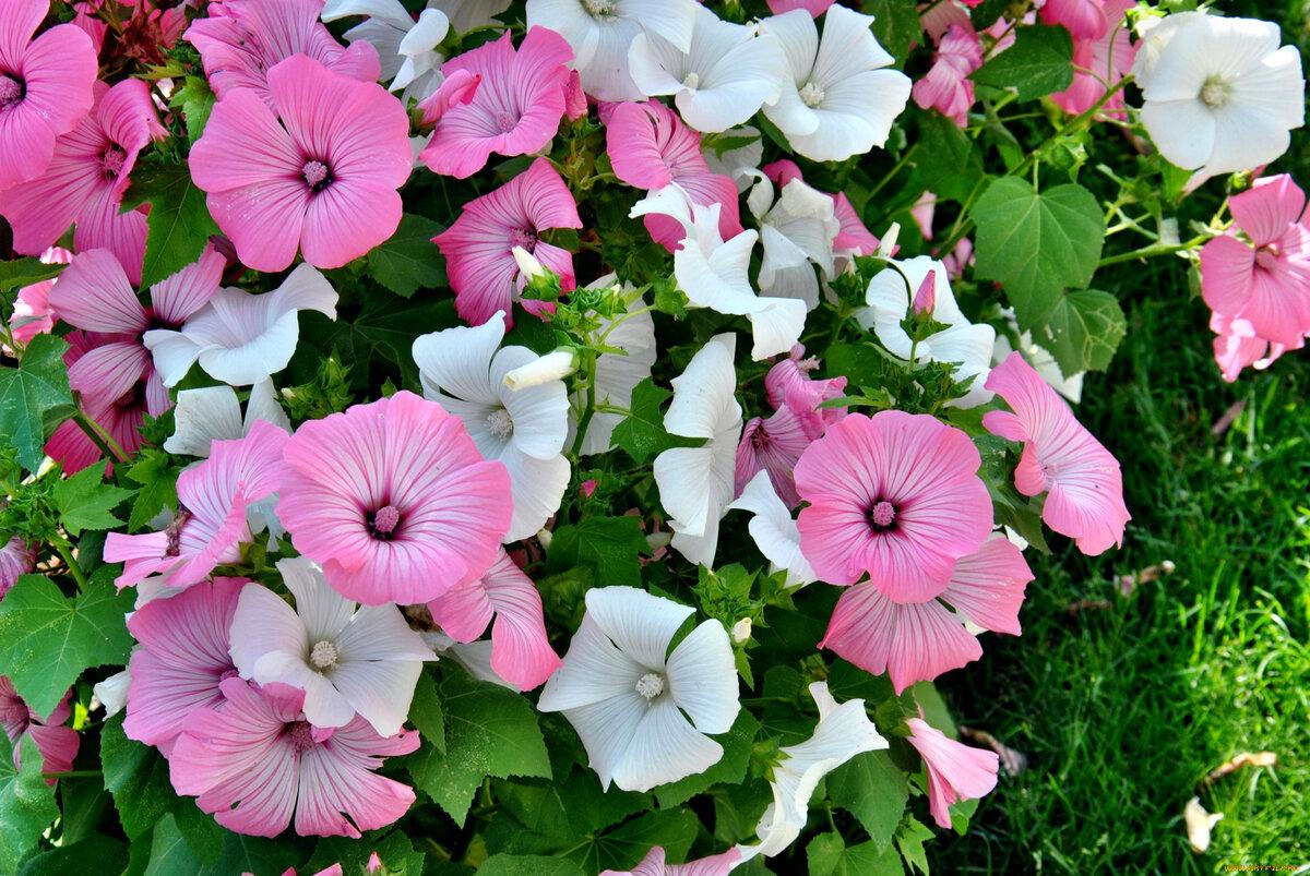 Лаватера фото цветов в клумбе