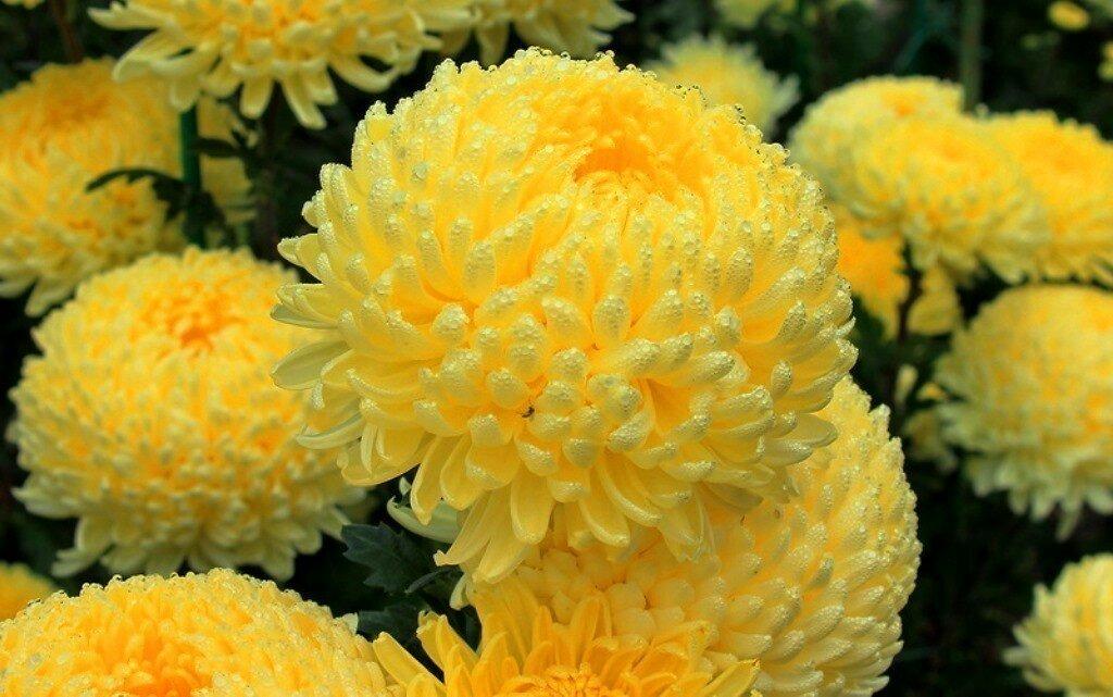 девочки шаровые хризантемы фото любая