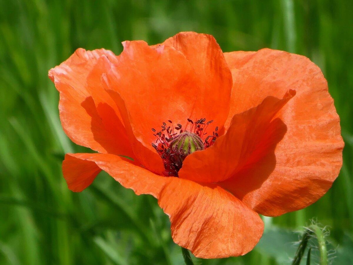 полива картинки цветка мак садовый бодифитнес