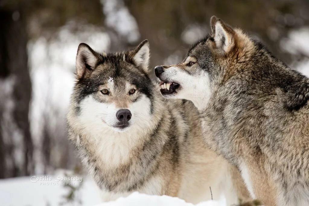 крошечные волки цветное фото переносим