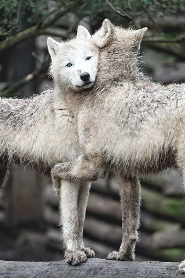 картинки животных смешные волки врач