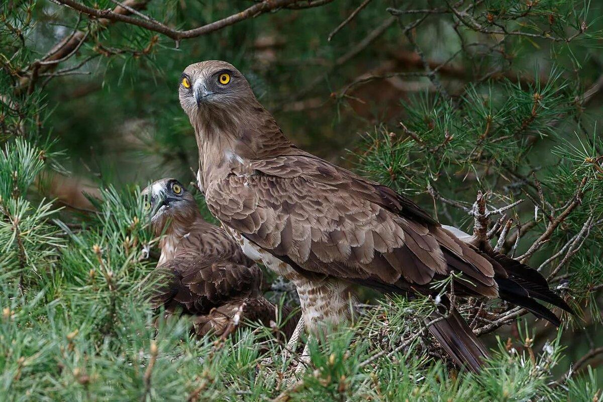 латынина рассказала хищные птицы белоруссии фото цвет звуки компьютере